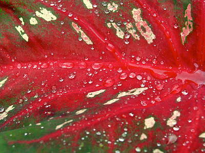 Photograph - Natural Abstract - Caladium Art by Norma Brock