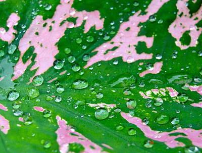 Photograph - Natural Abstract - Colorful Caladium by Norma Brock