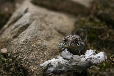Amphibians Photograph - Natural Expression Of A Fowler Toad  by Neal Eslinger
