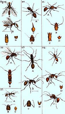 Natural History Of Ants, 1802 Art Print