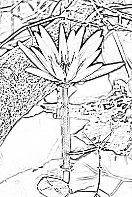 Digital Art - Natural White Water Lily Found On The East Coast Of Cozumel Island Mexico Black And White Digital Ar by Shawn O'Brien