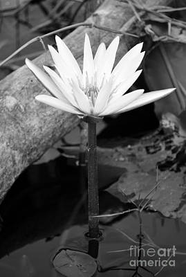 Black And White Photograph - Natural White Water Lily Found On The East Coast Of Cozumel Island Mexico Black And White by Shawn O'Brien