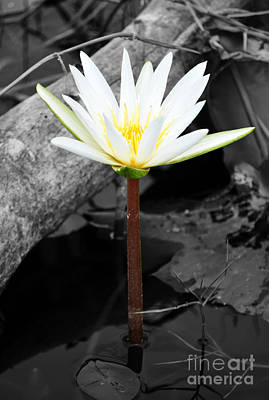 Flowers Photograph - Natural White Water Lily Found On The East Coast Of Cozumel Island Mexico Color Splash Digital Art by Shawn O'Brien