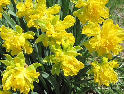 Daffodils Photograph - Naturalized Daffodils On The Farm by Conni Schaftenaar