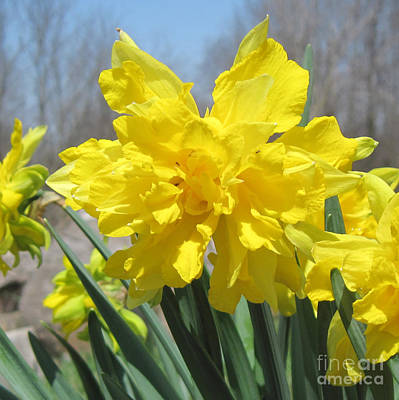 Photograph - Naturalized Daffodils Close Up by Conni Schaftenaar