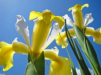 Yellow Bearded Iris Photograph - Nature Art Prints Yellow White Irises Flowers by Baslee Troutman
