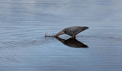 Reflective Surfaces Photograph - Nature - Birds - Herons - Kerplunk by Michel Soucy