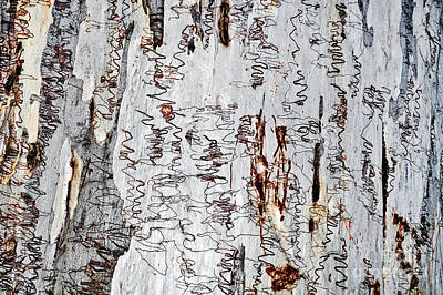 Nature's Art - The Scribbly Gum Art Print by Kaye Menner