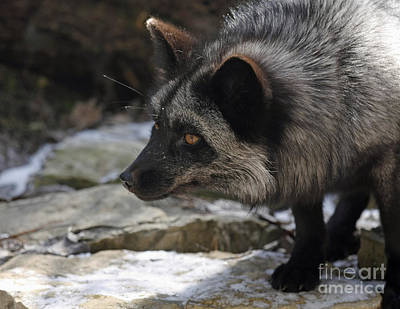 Nature's Beauty Silver Fox  Art Print by Inspired Nature Photography Fine Art Photography