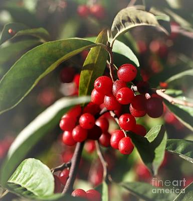 Photograph - Natures Gift Of Red Berries by Jeremy Hayden