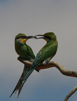Swallow Photograph - Nature's Heart - Swallow-tailed Bee-eaters by Bruce J Robinson