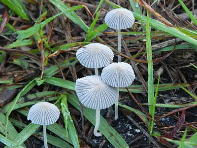 Photograph - Nature's Little Umbrellas by George Pedro