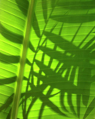 Natures Magic Shadows Of  Palm Fronds Shining Through The Leaf Of A Strelizia Tree Art Print by PIXELS  XPOSED Ralph A Ledergerber Photography