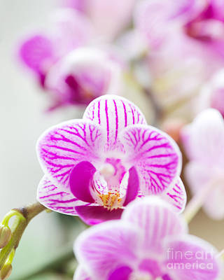 Dendrobium Photograph - Nature's Perfume by Ivy Ho