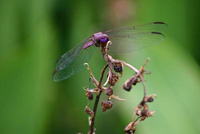 Dragonfly - Nature's Rose Art Print