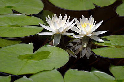 Nature's Snow White Water Lilies Art Print by Linda Phelps