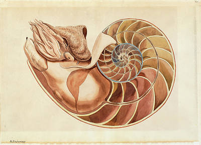 Nautilus Sp Art Print by Natural History Museum, London