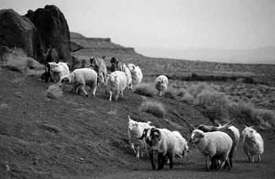 Navajo Sheep Art Print by Robert Lozen