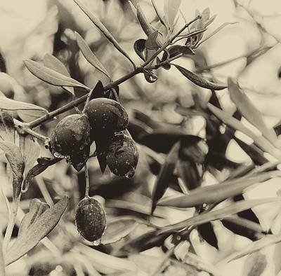 Photograph - Nazareth Olives Israel Antiqued by Mark Fuller