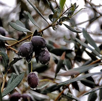 Photograph - Nazareth Olives Israel by Mark Fuller