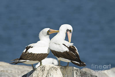 Galapagos Birds Photograph - Nazca Boobies Preening by William H. Mullins
