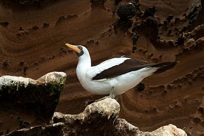 Photograph - Nazca Booby by David Beebe