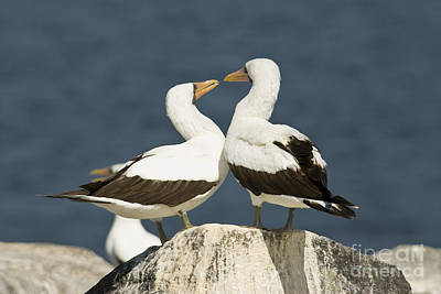 Galapagos Birds Photograph - Nazca Booby Pair by William H. Mullins