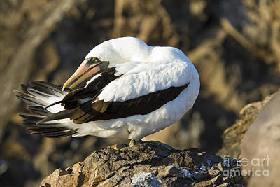 Galapagos Birds Photograph - Nazca Booby Preening by William H. Mullins