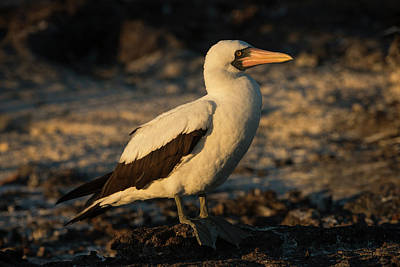 Boobies Photograph - Nazca Booby (sula Granti by Pete Oxford