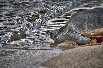 Green Sea Turtle Photograph - Nearly There by Douglas Barnard