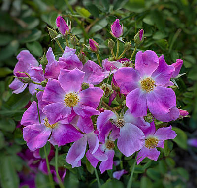 Photograph - Nearly Wild Rose by John Brink