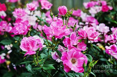 Photograph - Nearly Wild Roses by Paul Mashburn