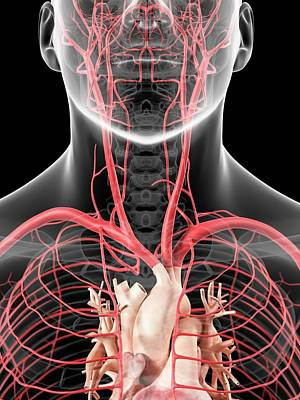 Human Head Photograph - Neck Arteries by Sciepro