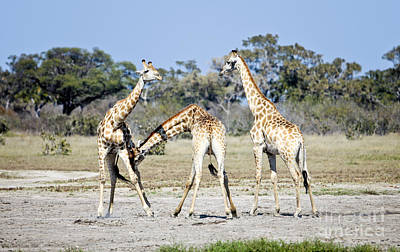 Art Print featuring the photograph Necking Giraffes Botswana by Liz Leyden