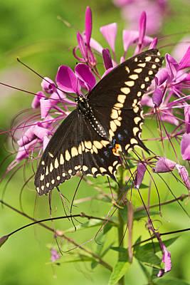 Photograph - Nectar Sampler by Theo OConnor