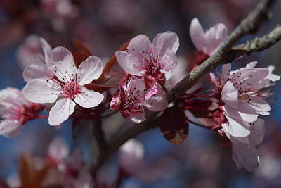 Photograph - Nectarine Blossoms by Frank Wilson