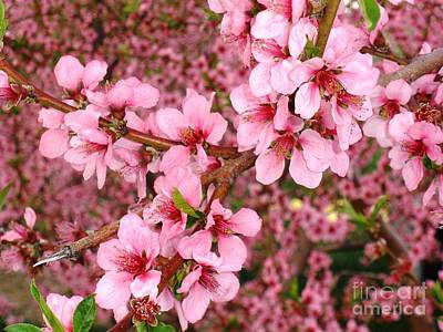 Photograph - Nectarine Blossoms by Polly Anna