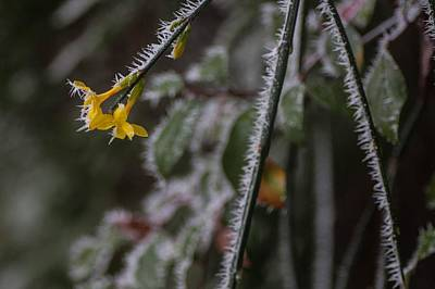 Photograph - Needle Hoar Frost by Richard Thomas