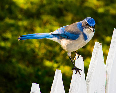 Photograph - Neighborhood Jay by Tikvah's Hope