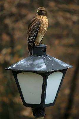 Photograph - Neighborhood Watch Hawk by Robert L Jackson