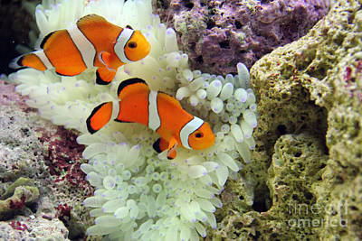 Scuba Photograph - Nemo by Carey Chen