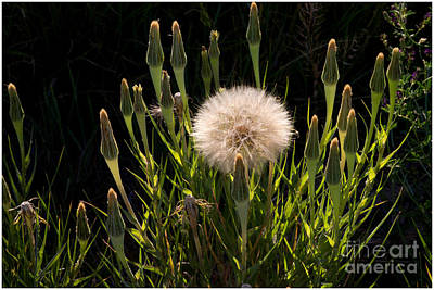 Photograph - Neon Dandelion by Angelique Olin