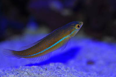 Photograph - Neon Wrasse  by Puzzles Shum