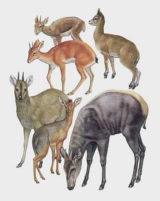 Neotraginae Mammals Art Print by Deagostini/uig/science Photo Library
