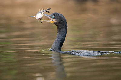 Wetlands Photograph - Neotropic Cormorant Phalacrocorax by Panoramic Images