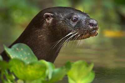 Neotropical Photograph - Neotropical Otter Lontra Longicaudis by Panoramic Images