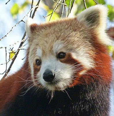 Photograph - Nepalese Red Panda Portrait by Margaret Saheed