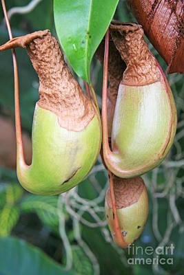 Nepenthes Original