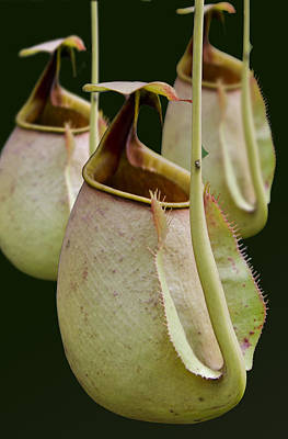 Nepenthes Art Print by Roger Leege
