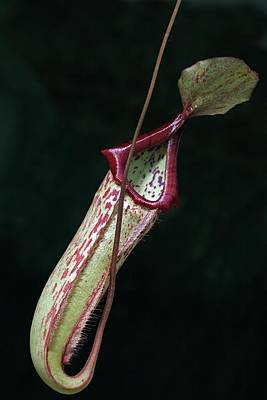 Pitcher Plant Photograph - Nepenthes X Mixta by Dirk Wiersma